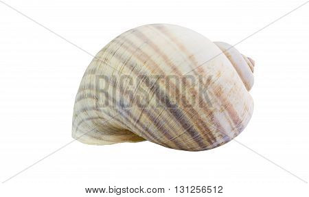 Single shell isolated on white background and clipping path
