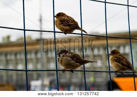 Sparrows on the net fence in the city