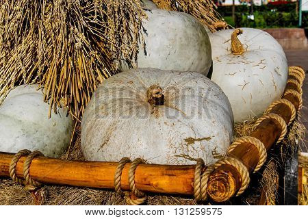 Grey pumpkins in the cart with straw