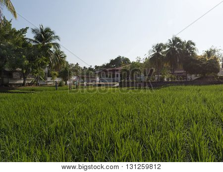 Demonstration rice paddy maintained by the Rice Museum in Penang Malaysia