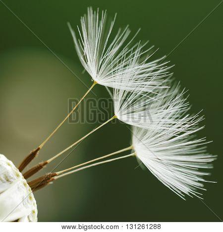 Dandelion flower background. Dandelion on natural background