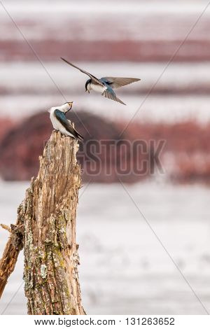 A pair of tree swallow arguing over a perch. Taken in Indiana.