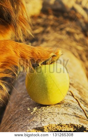 brown puppy's paw on green apple on the wood