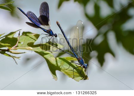 Two blue dragonflies standing with open wings on green leaf.
