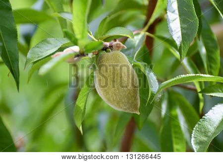 Unripe green peach fruit growing on a peach tree branch