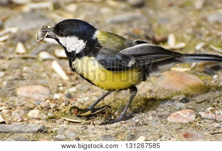 Great tit eating sunflower seeds, close-up, isolated.
