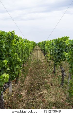 Row of grape vines at French vineyard