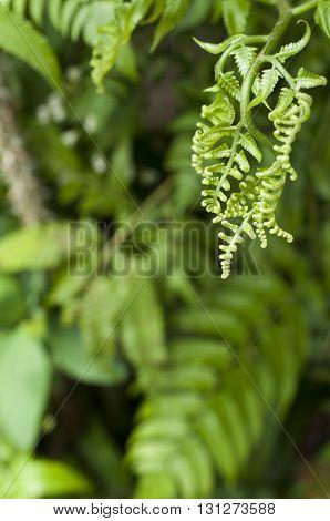 Fiddlehead fern Diplazium sp. Family Athyriaceae. (Selective Focus)