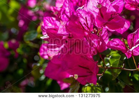 Blooming magenta Bougainvillea in Israel. Close-up, selected focus