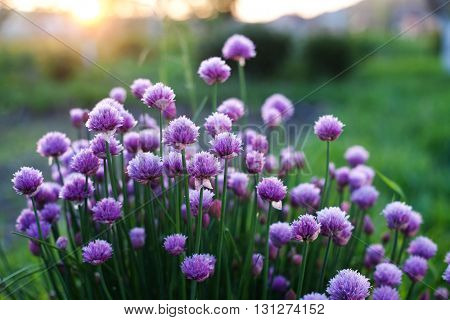 flowering chives in the garden at sunset