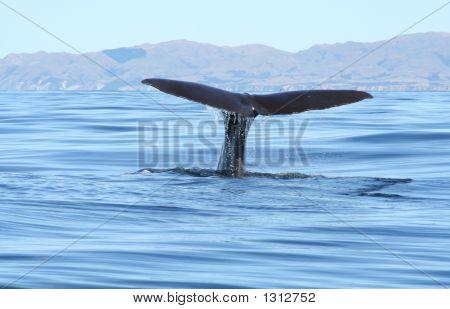 Whaletail1
