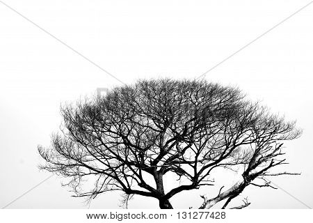 The dead tree in the black and white background