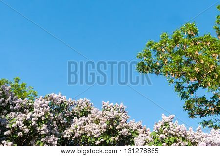 Blue sky with sun and lilac flowers in summer day