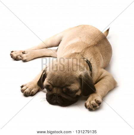 Sleeping Young Pug closeup on white background.