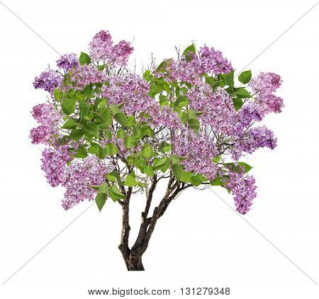 tree lilac blossom isolated on white background