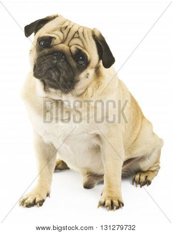 Close-up of a young pug isolated on white background