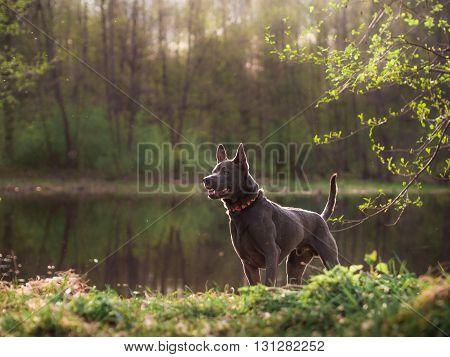 Grey summer adult thai riidgeback dog in forest river in evening