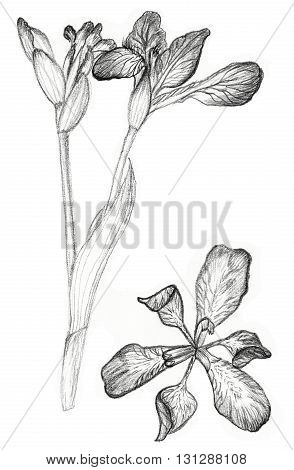 Iris flower drawing on white background. Fast pencil sketch