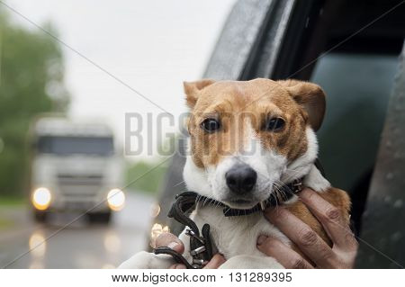 Terrier looking out of a car window while the owner is holding it. Concept of travel with pets