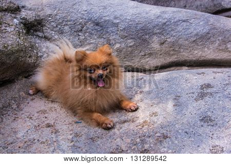 pomeranian on the rock , animal mammal