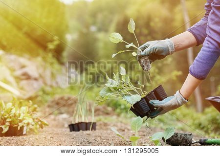 Gardener preparing broccoli seedlings for planting in freshly ploughed garden beds on a beautiful sunny morning. Organic gardening healthy food nutrition and diet self-supply and housework concept.