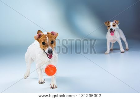 The two Jack Russell Terrier tanding on gray background