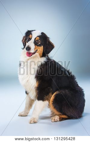 The Australian Shepherd dog , Aussie sitting on gray background