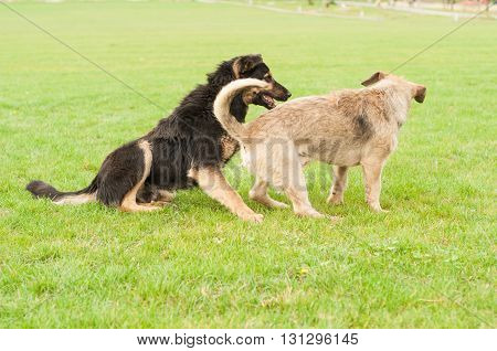 Two adorable dogs playing on grass in the park on a sunny spring day