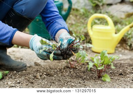 Gardener separating and planting plowing the beetroot seedlings in freshly ploughed garden beds. Organic gardening healthy food nutrition and diet self-supply and housework concept.