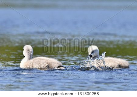 Beautiful Swan Cubs At The Pond. Beautiful Natural Colored Background With Wild Animals