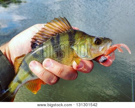 Perch with lure in his mouth