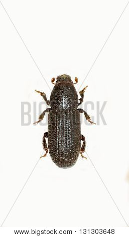 Bark Beetle on white Background  -  Hylastes sp.