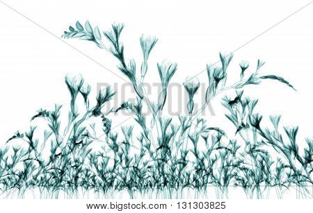 X-ray Image Of A Flower Isolated On White , The Freesia