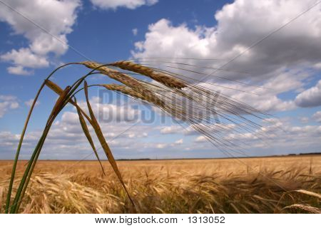 Corn Field With Three Ears