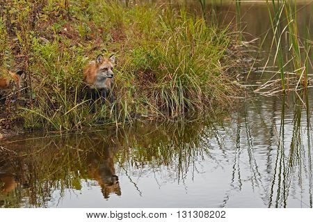 Red Fox (Vulpes vulpes) Sits on Shore - captive animal