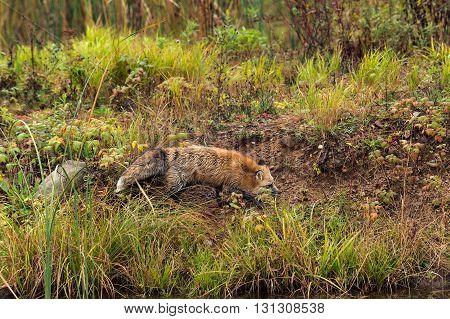Red Fox (Vulpes vulpes) Runs on Shoreline - captive animal
