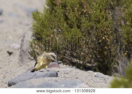 Andean Flicker (Colaptes rupicola), a type of woodpecker, in Lauca National Park, northern Chile.
