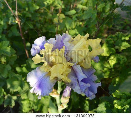Красивый цветок ирис на фоне зелени.  Beautiful iris flower on a green background.