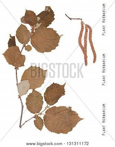 Herbarium plant hazel. Branch leaves and inflorescence plants hazel isolated on white