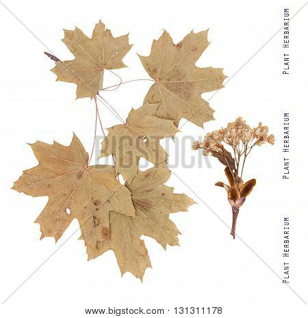 Herbarium plant maple. Branches leaves and flowers of maple tree isolated on white