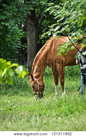 In early summer horse feasting on fresh juicy grass. The horse in the green forest.