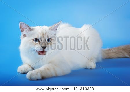 Angry neva masquerade cat on blue background.