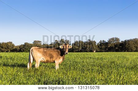 Cow eating grass in the green field