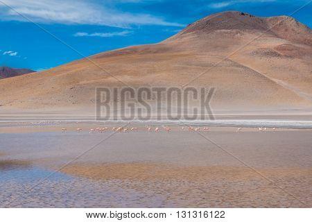 Flamingos in lake near Salar Uyuni in Bolivia