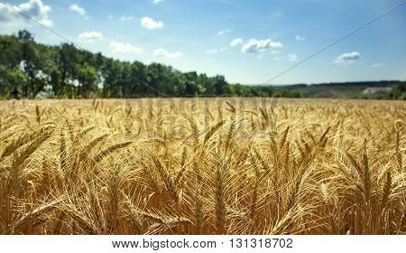 Field of ripe wheat on a clear sunny day