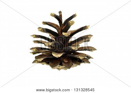 One big fir-cone isolated on white background