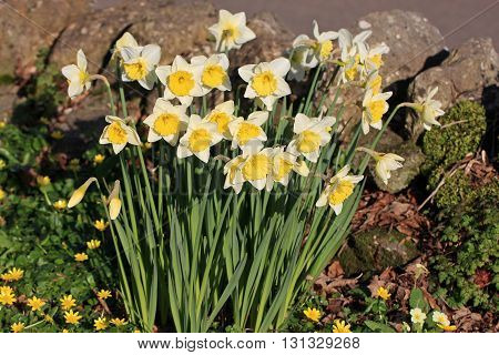 Daffodils and lesser celandine flowers in spring