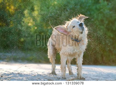 Close up view of a golden labrador shaking sea water off his body on the beach shore.