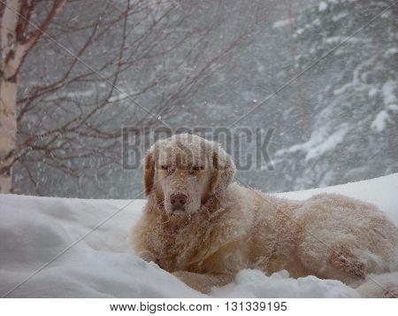 Humorous Golden Retriever dog in a snow storm with eyes frozen shut.
