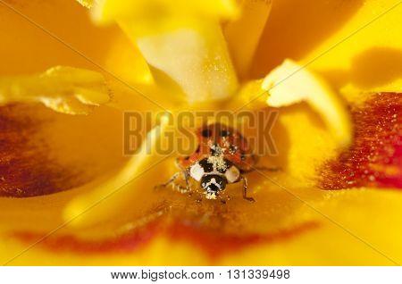 Lady Bug In Yellow Tulip